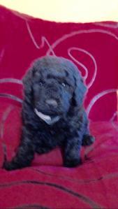 Pension De La Rosée Du Soleil - Élevage de chiens - Pézènes-les-Mines